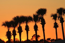 The famous Sebring palm trees