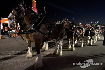 The Original Budweiser Clydesdale