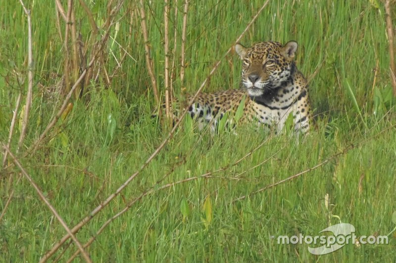 Oncafari Project – wild jaguar relaxes in evening sun