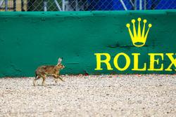 A hare walks across a gravel bed