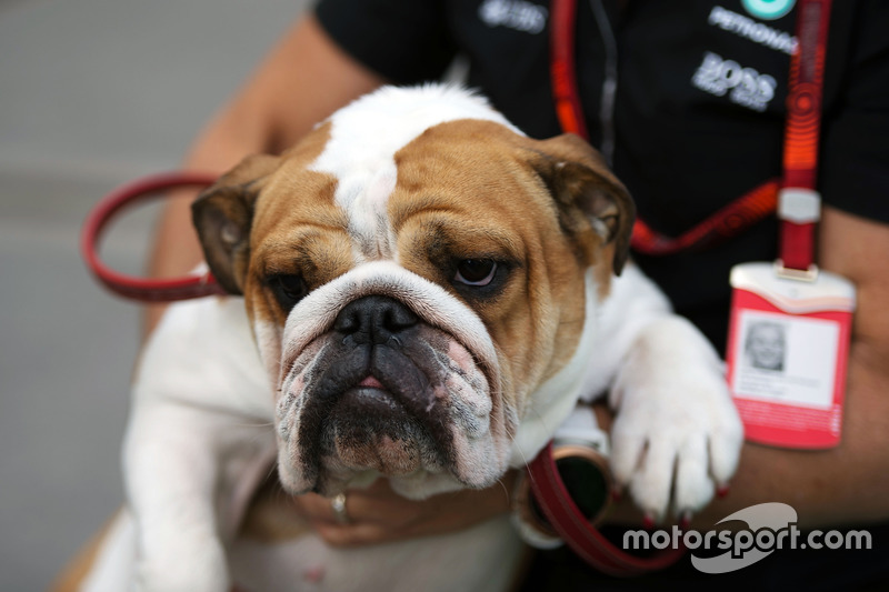 Uno de los perros de Lewis Hamilton, Mercedes AMG F1
