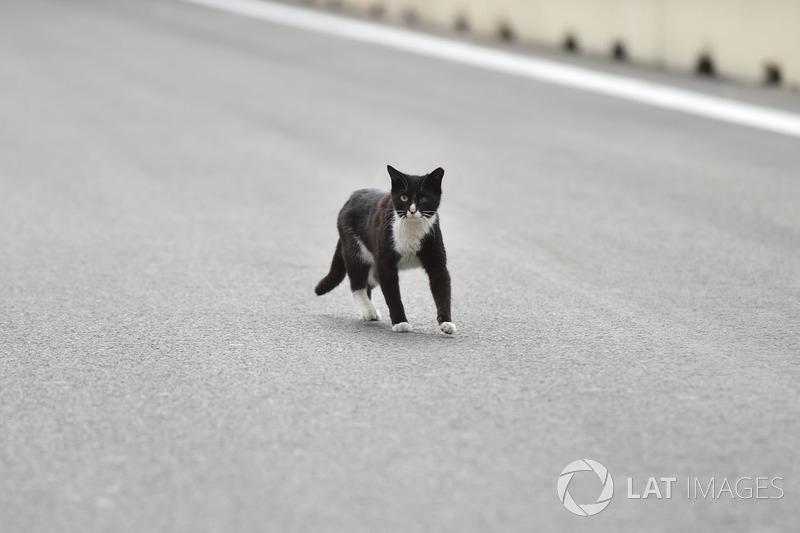 Kucing di lintasan