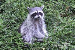 A racing raccoon