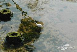 Florida egret