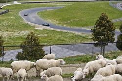 Track-side sheep
