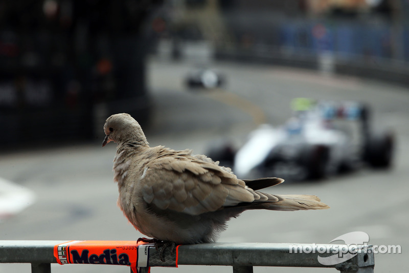A pigeon watches Valtteri Bottas, Williams FW36