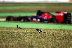 Carlos Sainz Jr., Scuderia Toro Rosso STR10 pasa a las aves en el pasto